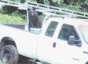 The Raleigh family of Bottom Fork, near Mayking, were surprised when they looked out the window of their house Sunday morning and found this black bear standing in the bed of their pickup truck. The bear left without causing any damage to truck.