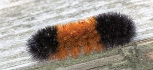 The fuzzy black & orange caterpillar did a good job of predicting the severity of the current winter.