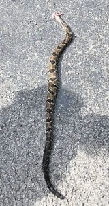 A second timber rattlesnake was killed at McRoberts on Sunday. Angie Collier Hardin said the 42-inch snake had 14 rattles and a button and was killed by James Johnson as it tried to make its way into her parents' yard.