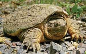 The Common Snapping Turtle may be taken year-round, non-commercially, with no bag limit in Kentucky.