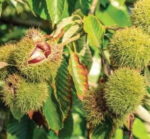 Chinese chestnut fruit grow on a tree.