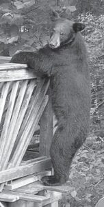 Many bears have been seen on Cowan.