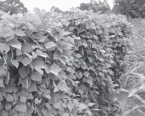 Columnist Ike Adams has had good luck with growing Lazy Wife fall green beans (above) since 2016. The Adams family used to grow the beans regularly on Blair Branch in the 1960's, but could no longer find the seeds until Ike's brother Keith saw them in a seed catalog.