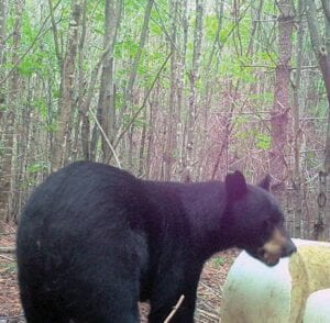 This photo of a 467-pound black bear was captured on a trail camera in Maine before it was killed by a hunter a few days later.