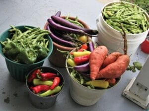 BOUNTIFUL HARVEST — End of summer vegetable harvest from Andy, Loretta and Ike Adams's garden in Paint Lick, included two varieties of green beans, and a sampling of Ichiban eggplant, peppers and sweet potatoes. (Photo by Andy Adams)